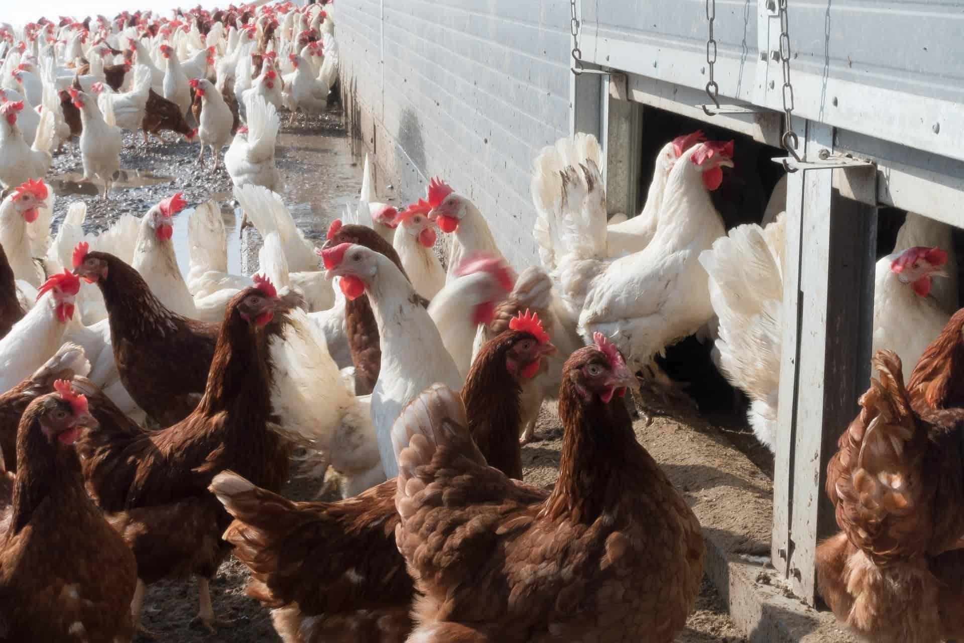 chicken 1230969 1920 - AgroEcosun
