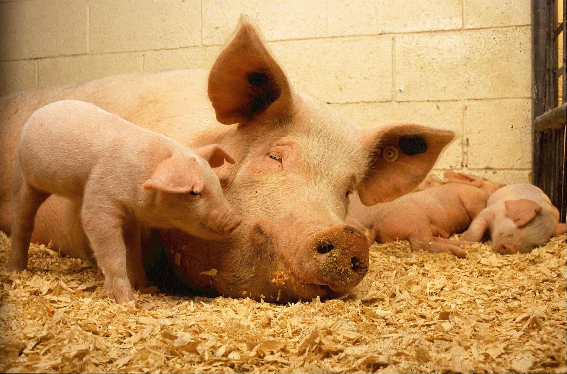 pigs 520896 1920 - AgroEcosun