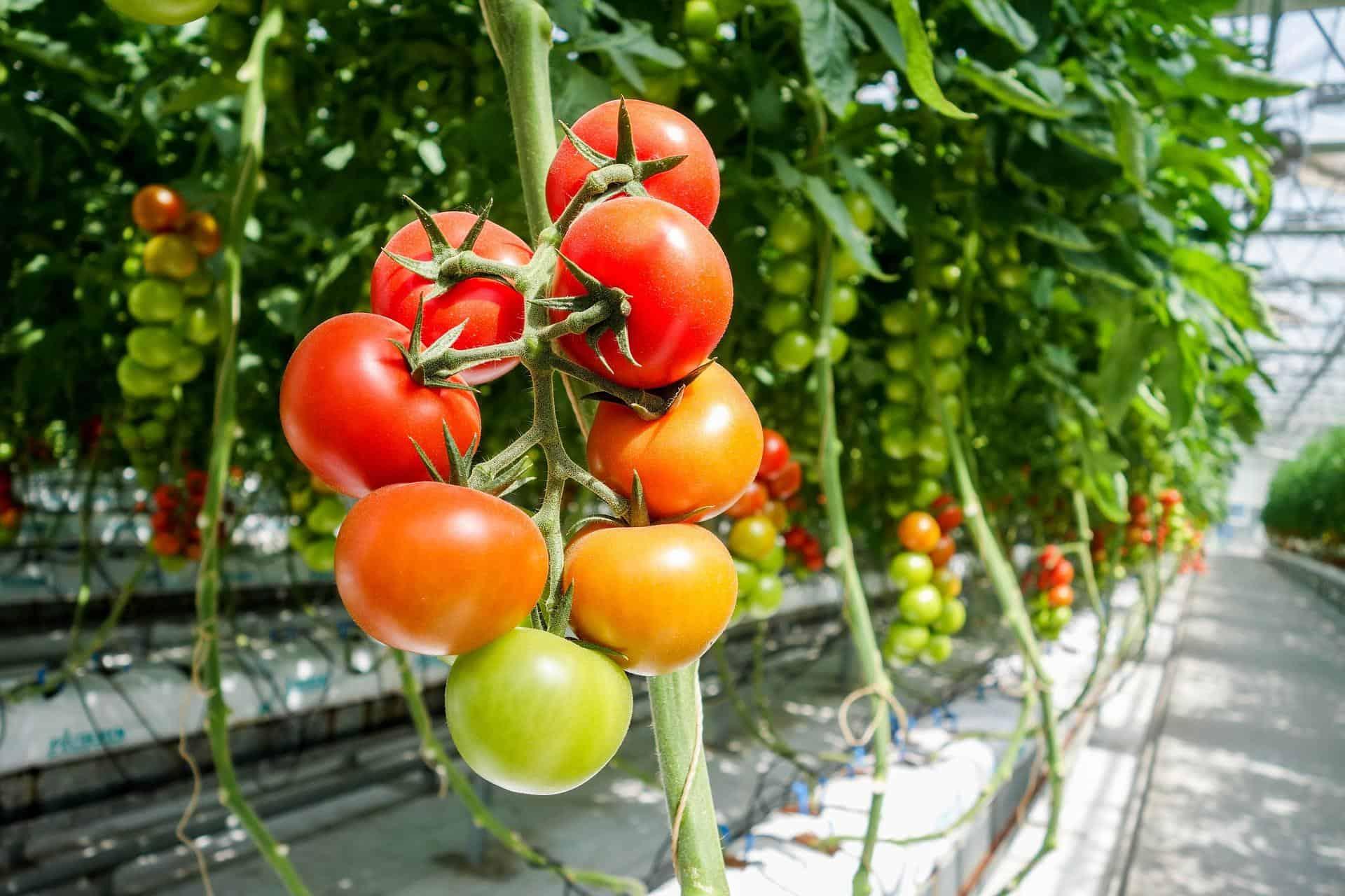 tomato 1310961 1920 - AgroEcosun